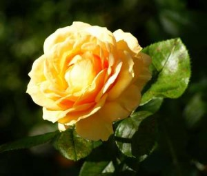 yellow rose rose pruning