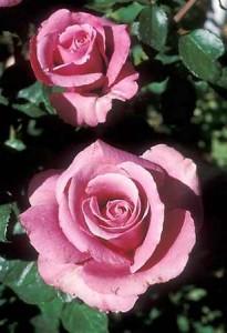 pink roses rose pruning