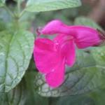 gardening sage-Pink sage