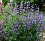 sage bush flowers Herbal Information