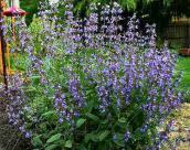 sage bush flowers
