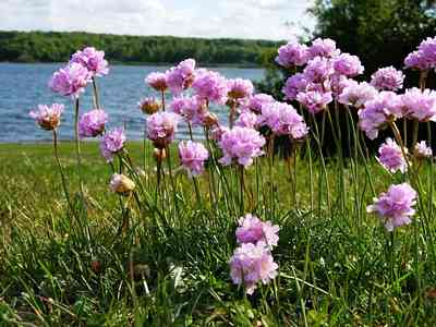SEA THRIFT View sea thrift