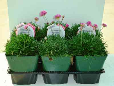 SEA THRIFT pots