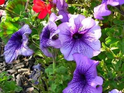 seeds-Petunias, 2 spanish seed collecting