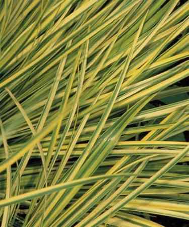 spanish_Acorus gramineus Spanish Winter Evergreens