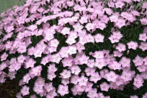 Spanish Winter Evergreens spanish_Dianthus gratianopolitanus
