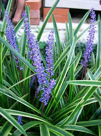 spanish_Liriope muscari Spanish Winter Evergreens