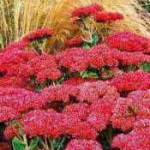 gardening spanis-sedum