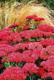 spanish_Sedum Spanish Winter Evergreens