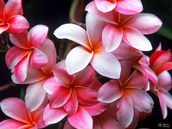 Plumeria Flower pink white