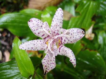 Toad Lilies Tricyrtis