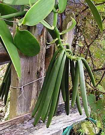 Green-vanilla-beans vanilla