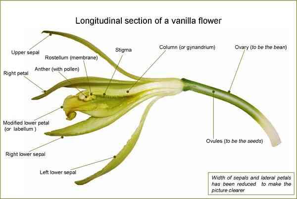 vanilla_Vanilla Flower vanilla
