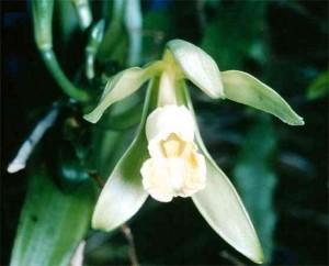 vanilla_Vanilla orchid, 2 vanilla