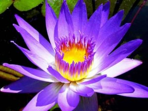 water lilies water-lillies-llarge-blue