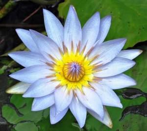 water lilies water-lillies-light-blue