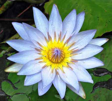 water-lillies-light-blue water lilies