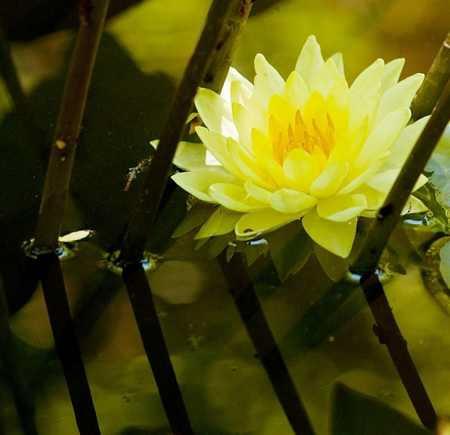 water-lillies-yellow
