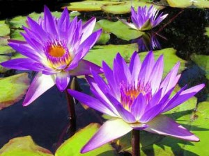 water lilies water-lillies-mauve-2