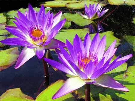 water-lillies-mauve-2