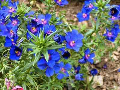 wild flower-Anagallis-monelli wild flowers