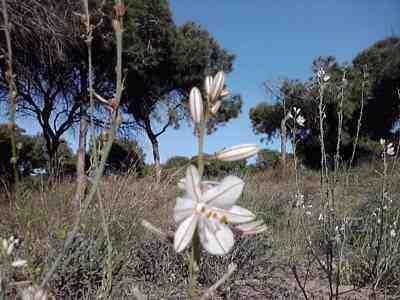 wild flowers wild-flower-Asphodelus-fistulosis-2