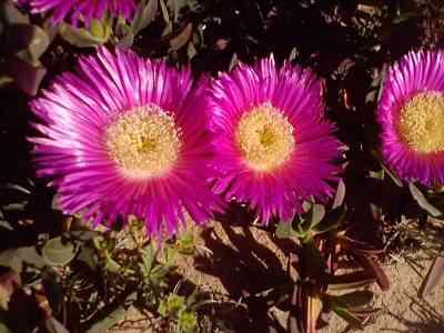 wild-flower-Carpobrotus