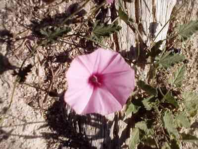 wild-flower-Convolvulus wild flowers