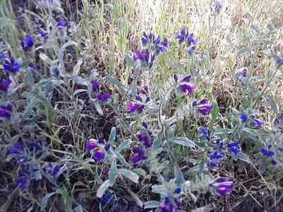 wild flower-Echium-sabulicola-2. wild flowers