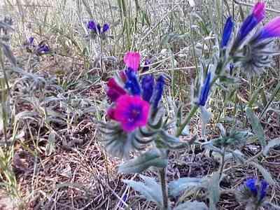 wild-flower-Echium-sabulicola
