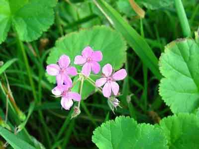 wild-flower-Erodium-malacoides-2