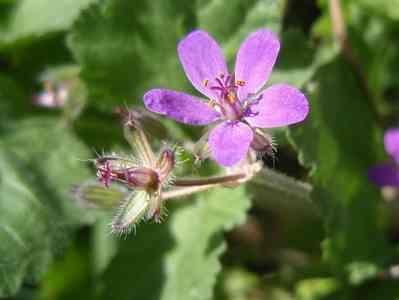 wild flower-Erodium-malacoides wild flowers