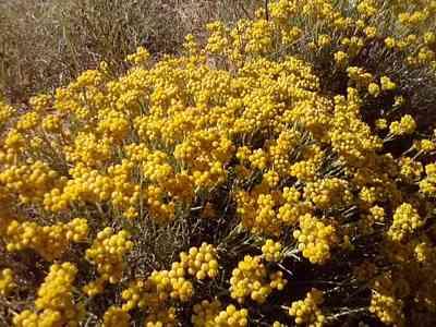 wild flower-Helichrysum-stoechas wild flowers