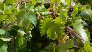 Grape Growing young-grapes