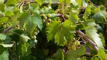 young-grapes
