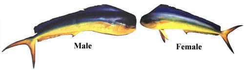 Dorado (Coryphaena hippurus)