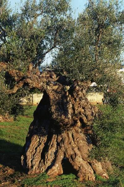 Olive-Tree-old