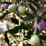 Olives-Spain gardening