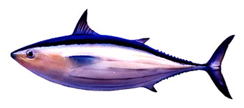 Tuna. Fishing Info