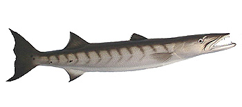 Barracuda. Fishing Info