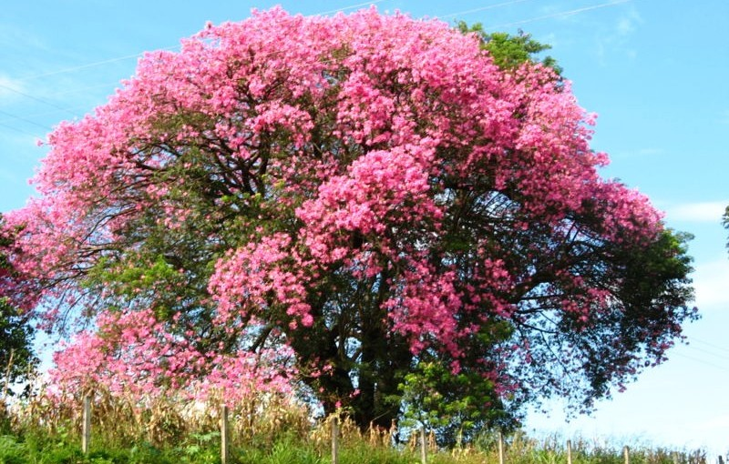 Silk-Floss-tree-in-bloom Silk Floss Trees