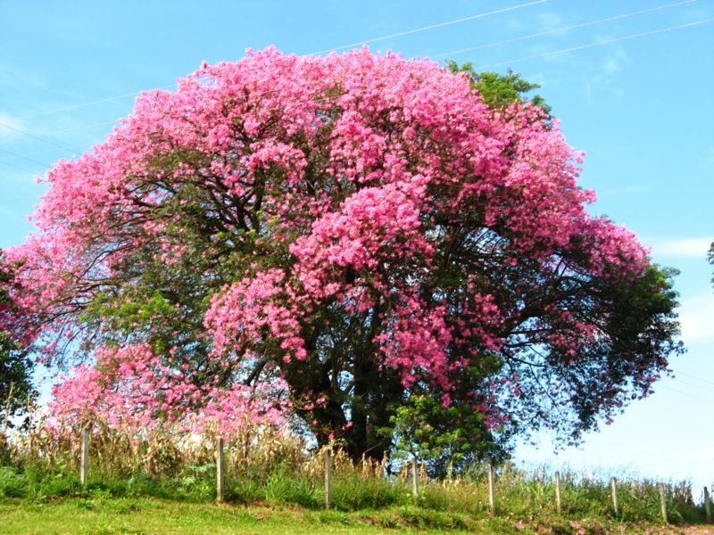 Silk-Floss-tree-in-bloom Silk Floss Trees