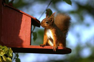 Squirrels brown-squirrel-feeder