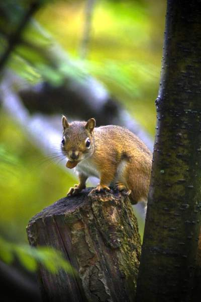 brown-squirrel-food