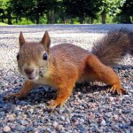 brown-squirrel-gravel gardening
