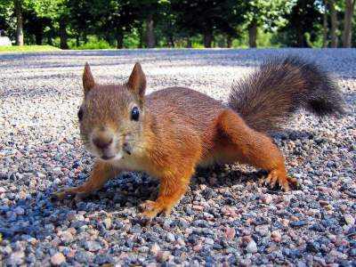 brown-squirrel-gravel