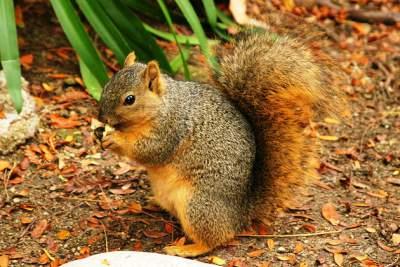 brown-squirrel-lunch