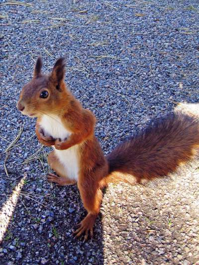 brown-squirrel-standing