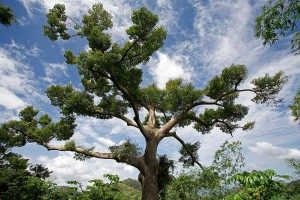 floss-silk-tree-green-leaves Silk Floss Trees