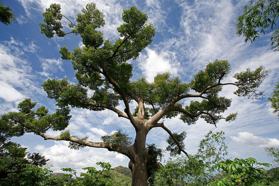 floss-silk-tree-green-leaves